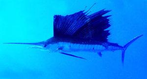 pesce-vela-curiosita-pesci-mare-isda-travel-blog